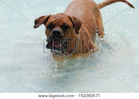 Large playful French mastiff in the water.