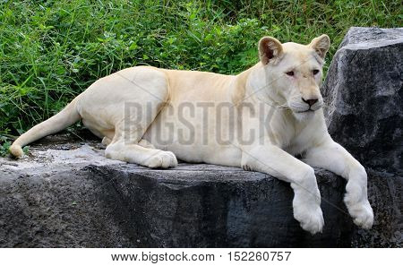 white mutation African lioness lying on the edge of a rock cliff bank, front paws hanging over the edge,  zoo habitat near Songkhla, Thailand