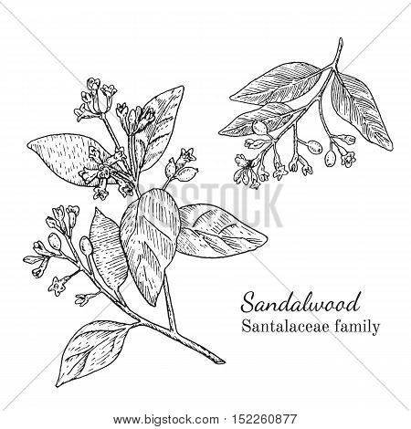 Ink sandalwood herbal illustration. Hand drawn botanical sketch style. Absolutely vector. Good for using in packaging - tea, condinent, oil etc - and other applications