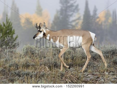 Young juvenile buck pronghorn in sagebrush during fall