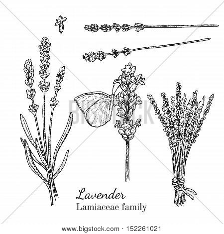 Ink lavender herbal illustration. Hand drawn botanical sketch style. Absolutely vector. Good for using in packaging - tea, condinent, oil etc - and other applications
