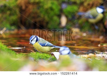 birds in autumn watering, colored bird on dry tree, Eurasian blue tit , Cyanistes caeruleus, autumn, leaves falling,