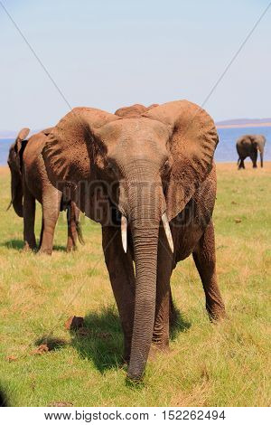 Portrait of an elephant standing on the lush green plains in Lake Kariba - Zimbabwe