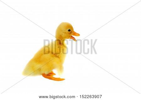 Duckling On A White Background