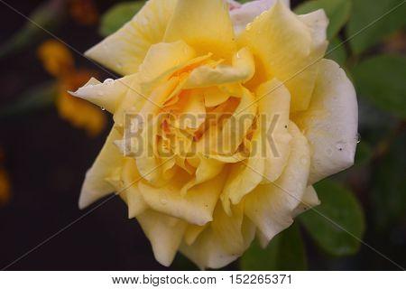 Beautiful yellow rose flower in a garden.