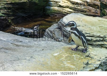 Adorable Penguin Over The Rocks At The Lisbon