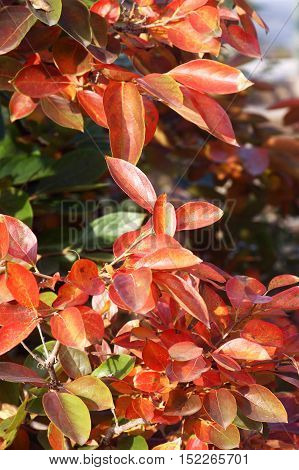 The leaves on the persimmon tree in autumn