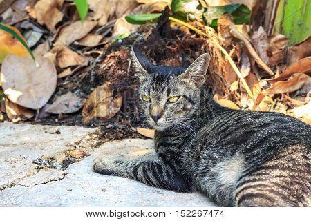 Thai cat. Thai cat portrait in the garden.