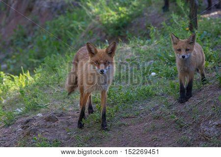 Teen Red Fluffy Fox