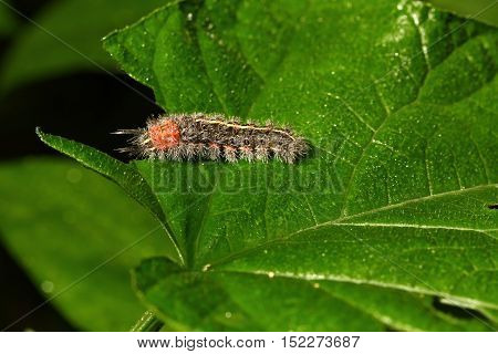 A hairy caterpillar wet on green leaf