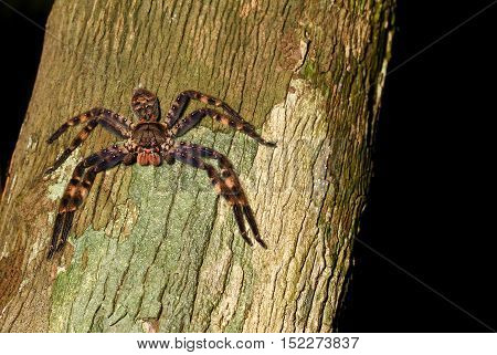 Macro image of a purple huntsman spider Heteropoda lunula