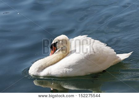 Swan on the river Reuss waters in Lucerne in Switzerland