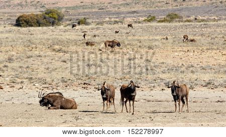 The Four Main Black Wildebeest In The Front