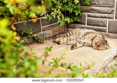 Gray home exotic shorthair tabby cat lying in the garden