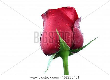 Valentine Single Beautiful Rose In White Space
