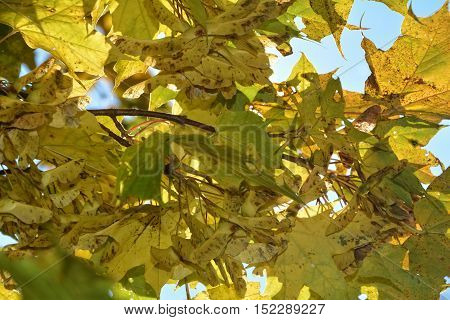 Colorful autumn leaves hanging on tree branch with blue sky