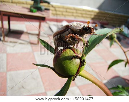 chafer adult sitting on unopened flower peony