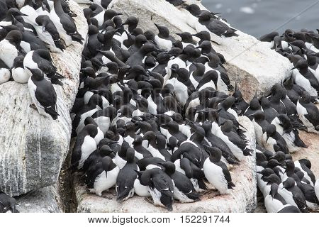 common murre colony on a rocky shelf of the Pacific Islands