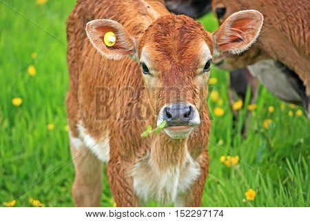 calf grazing in a field of buttercups