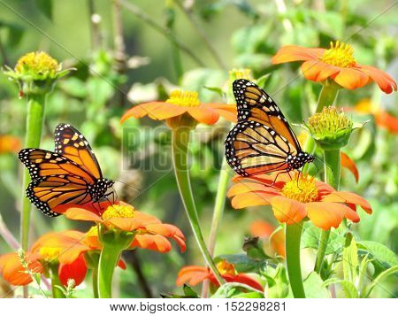 Monarch butterflies on a flowers in garden on bank of the Lake Ontario in Toronto Canada September 13 2016