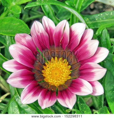 Pink daisy in garden on bank of the Lake Ontario in Toronto Canada September 13 2016