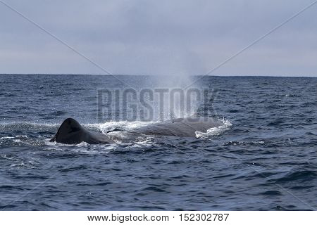sperm whale produces a fountain spring sunny day