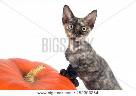 Devon rex purebrebred cat on white background with pumpkin