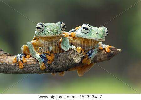 Tree Frog, two Javan tree frog sitting on branch