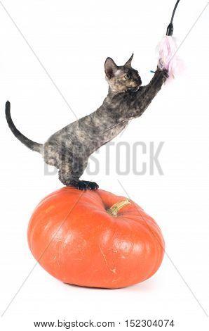 Devon rex purebrebred cat sitting on pumpkin on white background