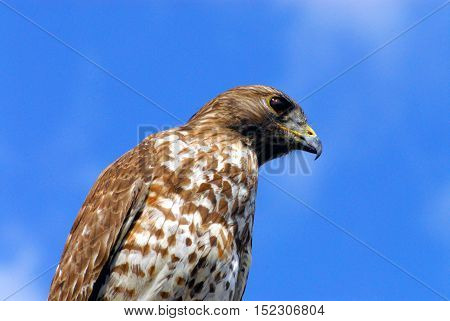 Closeup of a large multi-colored hawk in the Florida Everglades.  Could make a great background because of the amount of blue sky.