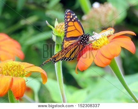 Monarch and grasshopper in garden on bank of the Lake Ontario in Toronto Canada September 13 2016