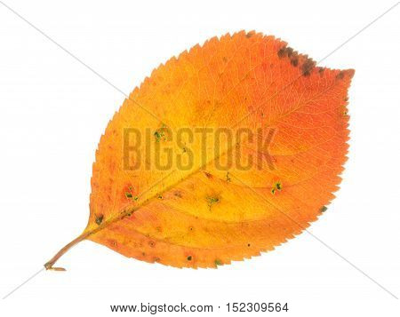 Beautiful bright colorful autumn orange spotted sweet leaf isolated on a white background