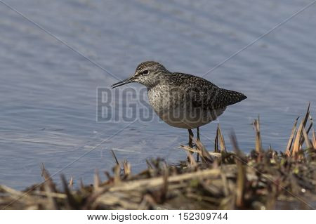 Wood Sandpiper which stands on the bank of the river among the grass