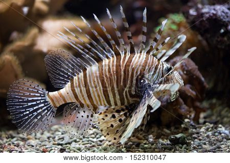 Red lionfish (Pterois volitans). Wildlife animal.