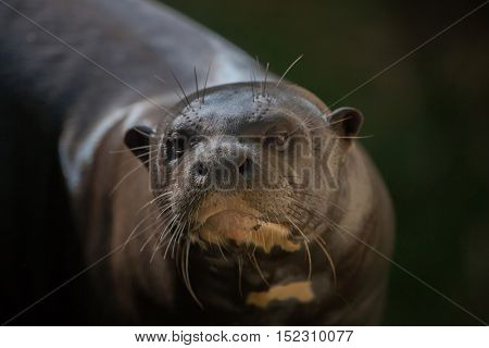 Giant otter (Pteronura brasiliensis), also known as the giant river otter. Wildlife animal.