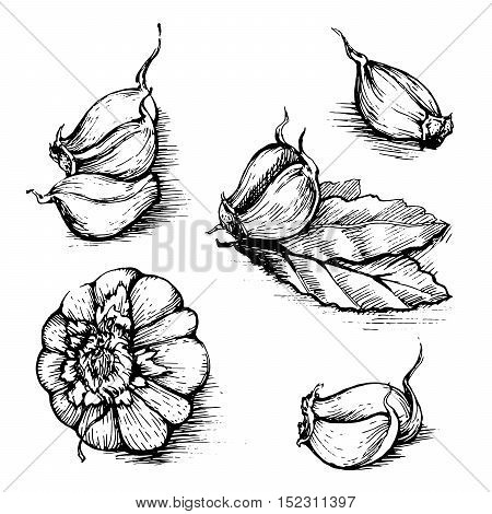 Vector hand drawn set of garlic with laurel leaf. Herbs and spices sketch illustration isolated on white background.