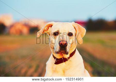 Muddy dog. Labrador retriever with sad eyes sitting on the field at the sunset light
