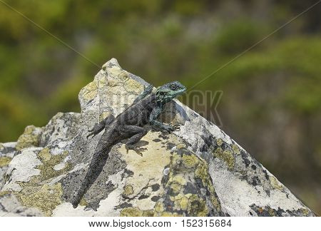 A male lizard on the rock in South Africa
