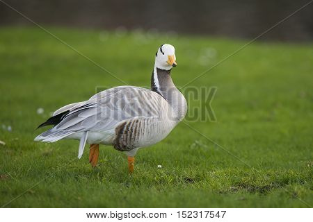 Bar-headed Goose (Anser indicus) standing in a City Park