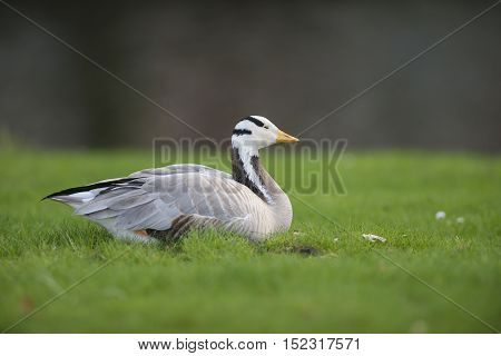 Bar-headed Goose (Anser indicus) resting in a City Park