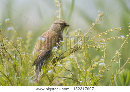 Common Linnet (Linaria cannabina) male eating from flowers