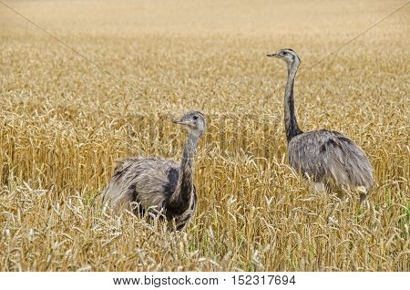 Two american greater rheas (Nandu Rhea americana) walking through the grainfield in Mecklenburg-West Pomerania Germany. The ratites have erupted 15 years ago from an enclosure and now grown into a stable population.
