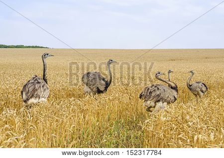 American greater rheas (Nandu Rhea americana) walking through the grainfield in Mecklenburg-West Pomerania Germany. The ratites have erupted 15 years ago from an enclosure and now grown into a stable population.