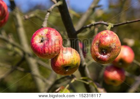 Organic ugly apples growing on a tree