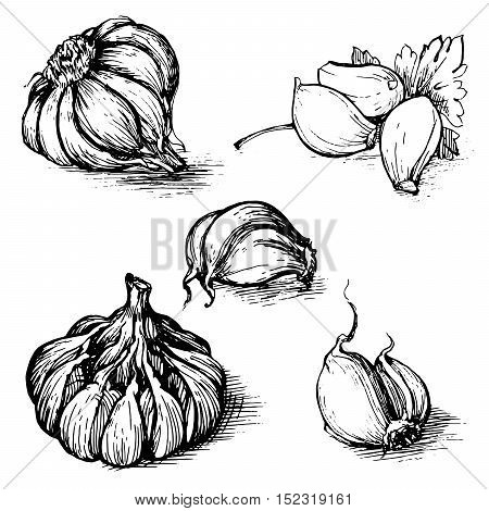 Vector hand drawn set of garlic with parsley. Herbs and spices sketch illustration isolated on white background.