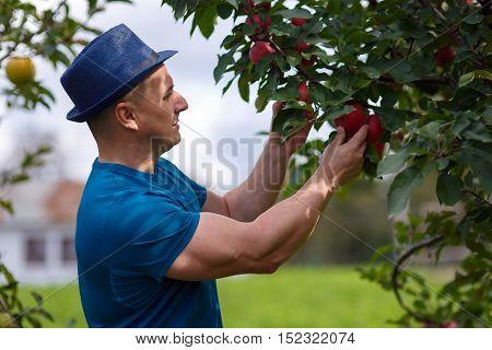 Gardener Picking Apples