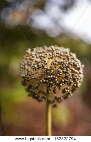 Closeup of a dried onion flower with seeds in the autumn