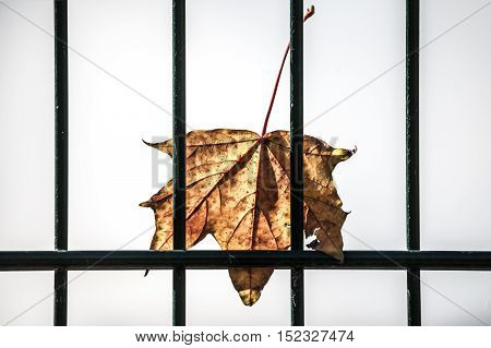 old maple leaf behind a green fence