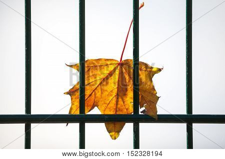 a maple leaf behind a green fence