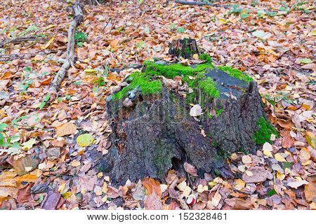 Tree Stump Covered With Moss In The Autumn Forest